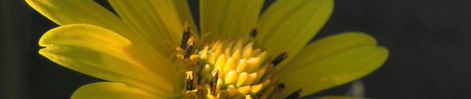 garten-sonnenauge-bluete-gelb-blatt-gruen-heliopsis-helianthoides