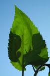 Sonnenblume Blatt gruen Helianthus annuus 34