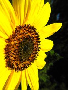Sonnenblume Bluete gelb Helianthus annuus 04