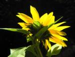 Sonnenblume Bluete gelb Helianthus annuus 05