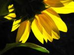 Sonnenblume Bluete gelb Helianthus annuus 08