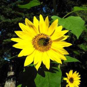 Sonnenblume Bluete gelb Helianthus annuus 11