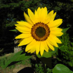 Sonnenblume Bluete gelb Helianthus annuus 12