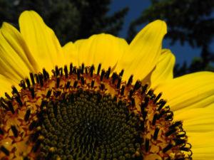 Sonnenblume Bluete gelb Helianthus annuus 14