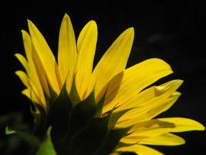 Sonnenblume Bluete gelb Helianthus annuus 22