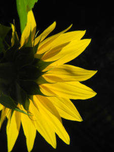 Sonnenblume Bluete gelb Helianthus annuus 23