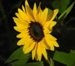 Sonnenblume Bluete gelb Helianthus annuus 31