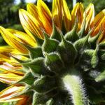 Bild:  Sonnenblume Blüte gelb orange Helianthus annuus