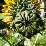 Sonnenblume Bluete satt Helianthus annuus 05