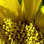 Bild:  Sonnenblume hell gelb Helianthus anuus