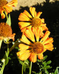 Sonnenbraut Septemberfuchs Bluete rot orange braun Helenium hybride 02