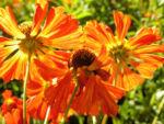 Sonnenbraut Septemberfuchs Bluete rot orange braun Helenium hybride 08