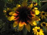 Sonnenhut Bluete gelb braun Rudbeckia hybride 01