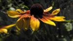 Sonnenhut Bluete gelb braun Rudbeckia hybride 04