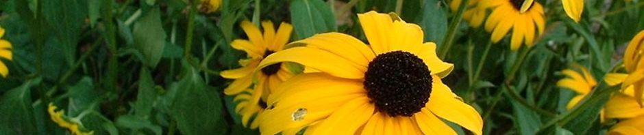 gewoehnlicher-sonnenhut-bluete-gelb-rudbeckia-fulgida