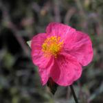 Sonnenroeschen Bluete rosa Helianthemum lavendulaefolium 05