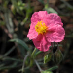 Sonnenroeschen Bluete rosa Helianthemum lavendulaefolium 06