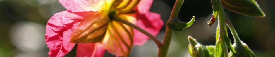 sonnenroeschen-rubin-bluete-pink-helianthemum-hybride