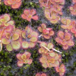 Sonnentau rötlich Drosera glanduligera 05