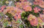 Sonnentau rötlich Drosera glanduligera 09