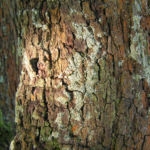 Speierling Frucht Blaetter gelb roetlich Sorbus domestica 04