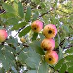 Speierling Frucht Blaetter gelb roetlich Sorbus domestica 06