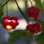 Spindelstrauch Pfaffenhuetchen Frucht rot orange Euonymus europaeus 05