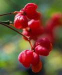 Spindelstrauch Pfaffenhuetchen Frucht rot orange Euonymus europaeus 07