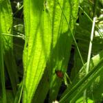 Spitz Wegerich Bluete weiss Plantago lanzeolata 02