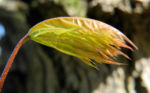 Spitzahorn Blatt hellgruen Acer platanoides 04