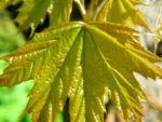 Spitzahorn Blatt hellgruen Acer platanoides 07