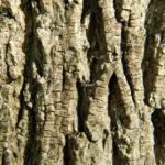 Bild:  Spitzahorn Blüte gelb Acer platanoides
