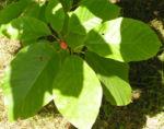 Spitzblaettrige Magnolie Baum Frucht roetlich Magnolia acuminata 04
