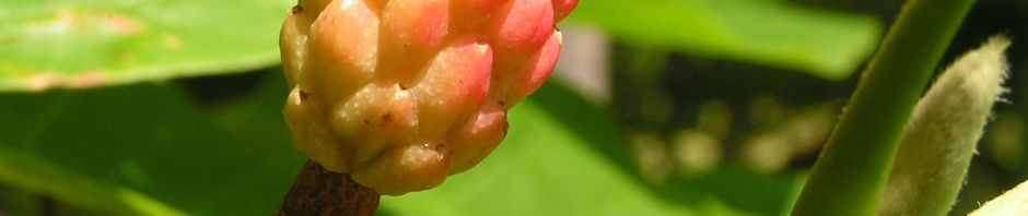 gurken-magnolie-frucht-rot-magnolia-acuminata