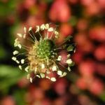Spitzwegerich Bluete Plantago lanceolata 08