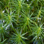 Sprossender Baerlapp gruen Lycopodium annotinum 04