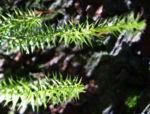 Sprossender Baerlapp gruen Lycopodium annotinum 10