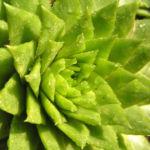 Sprossender Donarsbart Blattrosette gruen Sempervivum globiferum 02