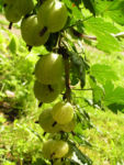 Stachelbeere Frucht gruen rot Ribes uva crispa 04