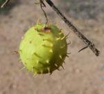 Stachelbeergurke Frucht gelb gruen Cucumis myriocarpus 14