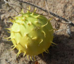 Stachelbeergurke Frucht gelb gruen Cucumis myriocarpus 19