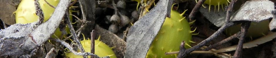 stachelbeergurke-frucht-gelb-gruen-cucumis-myriocarpus