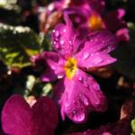 Staengellose Schluesselblume Bluete pink Primula acaulis 02