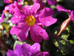 Staengellose Schluesselblume Bluete pink Primula acaulis 03