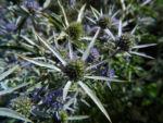 Stahlblaue Mannstreu Bluete lila Eryngium amethystinum 02