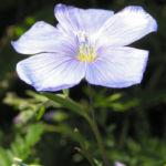 Bild:  Stauden-Lein Blüte blau Linum perenne