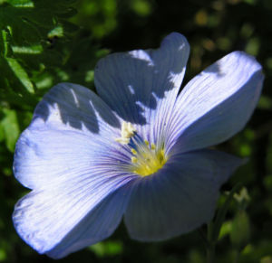 Stauden Lein Bluete blau Linum perenne 05