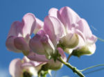 Bild:  Stauden Wicke Blüte rose Lathyrus latifolius