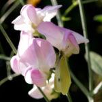 Stauden Wicke Bluete rose Lathyrus latifolius 02