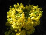 Stechdornblaettrige Mahonie Bluete gelb Mahonia aquifolium 02